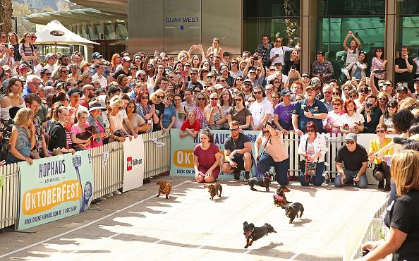 動物「Annual Dachshund Race Celebrates Start Of Oktoberfest In Australia」:写真・画像(10)[壁紙.com]