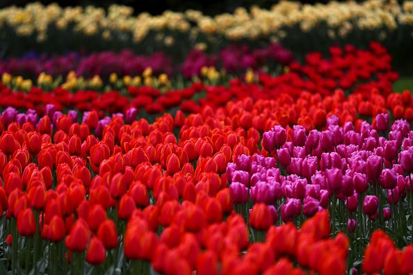 Keukenhof Gardens「Netherlands Continues 'Intelligent Lockdown' Amid Coronavirus Outbreak」:写真・画像(10)[壁紙.com]