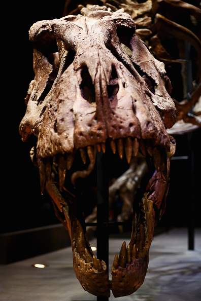 Paleontologist「T rex named Trix at Naturalis Museum of Leiden」:写真・画像(14)[壁紙.com]