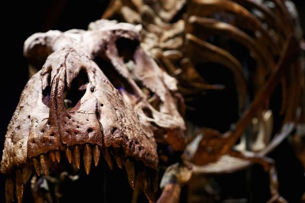 Dinosaur「T rex named Trix at Naturalis Museum of Leiden」:写真・画像(3)[壁紙.com]