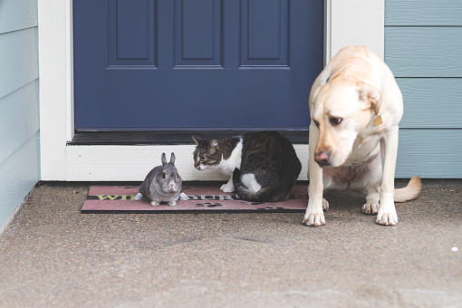 Baby Rabbit「Adorable bunny medium-size dog, and cat hanging out together on front porch」:スマホ壁紙(1)
