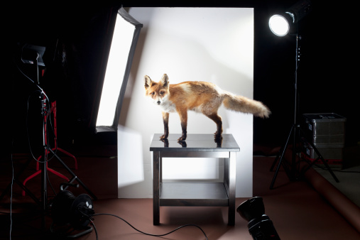 大昔の「A behind the scenes look at a photo shoot of a stuffed fox」:スマホ壁紙(8)