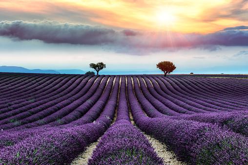 Plateau De Valensole「Valensole -lavender land, sunset」:スマホ壁紙(1)