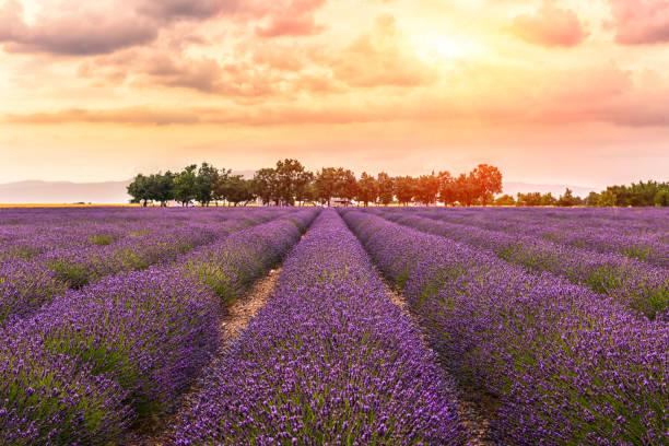 Valensole -lavender land, sunset,2:スマホ壁紙(壁紙.com)