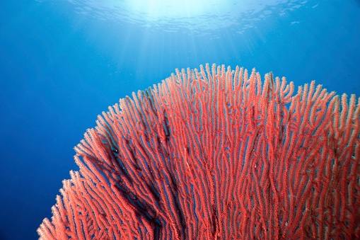 Soft Coral「Red Gorgonian Seafan out in the blue, Bunaken Island, Indonesia」:スマホ壁紙(14)