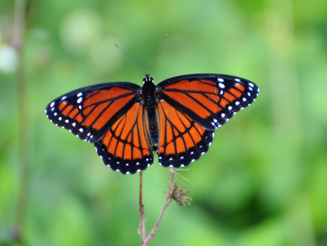 UNESCO「Viceroy butterfly, Limenitis archippus, mimics pattern and coloration of Monarch butterfly. Everglades National Park, Florida, USA. UNSECO World Heritage Site (Biosphere Reserve).」:スマホ壁紙(18)