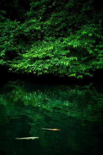 Carp「Koi Fish Swimming in the Water with Dense Foliage Surrounded, Funabashi, Chiba, Japan」:スマホ壁紙(6)