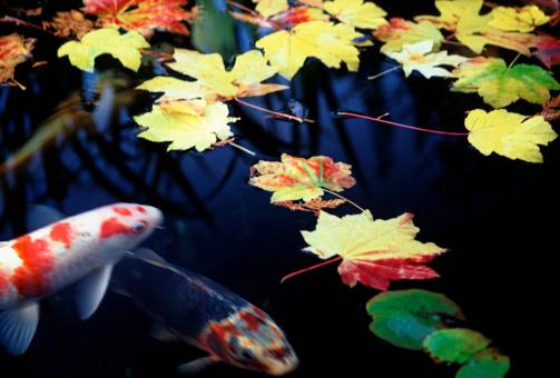 Carp「Koi fish swimming in pond」:スマホ壁紙(15)
