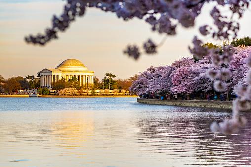 Sakura Matsuri「During National Cherry Blossom Festival, Thomas Jefferson Memorial in Washington DC, USA.」:スマホ壁紙(17)