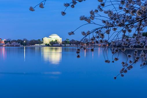 Sakura Matsuri「During National Cherry Blossom Festival, Thomas Jefferson Memorial in Washington DC, USA.」:スマホ壁紙(16)