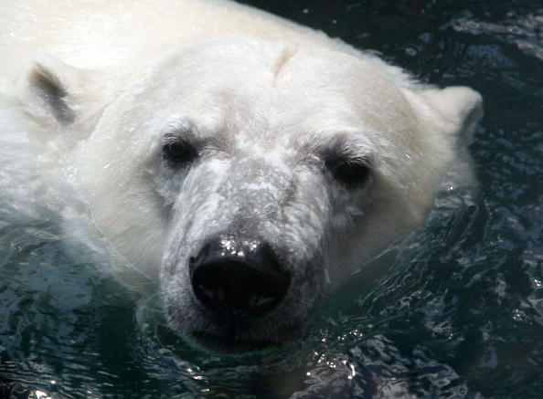 Polar Bear「Maryland Zoo Debuts New Polar Bear Anoki」:写真・画像(5)[壁紙.com]
