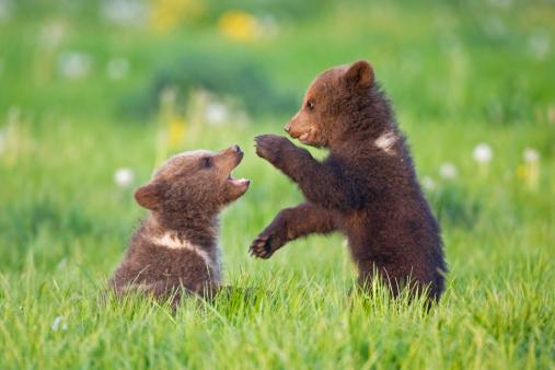 Bear Cub「European Brown Bear Cubs Playing ((Ursus arctos), close-up」:スマホ壁紙(1)
