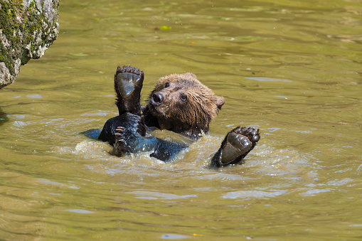 Eurasian Brown Bear「European Brown Bears, Ursus arctos, Cub swim in Pond, Bavaria, Germany」:スマホ壁紙(17)