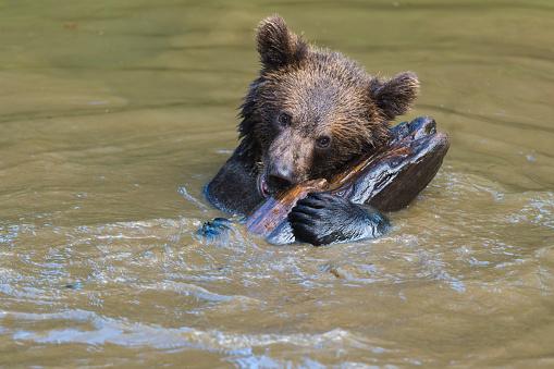 Eurasian Brown Bear「European Brown Bears, Ursus arctos, Cub swim in Pond, Bavaria, Germany」:スマホ壁紙(19)