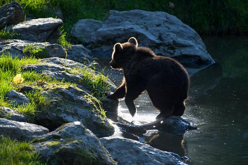 Eurasian Brown Bear「European Brown Bears, Ursus arctos, Cub in pond, Bavaria, Germany」:スマホ壁紙(15)