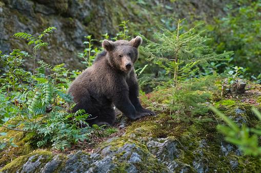 Eurasian Brown Bear「European Brown Bears, Ursus arctos, Cub, Bavaria, Germany」:スマホ壁紙(18)