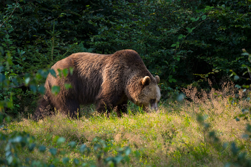 Eurasian Brown Bear「European Brown Bears, Ursus arctos, Bavaria, Germany」:スマホ壁紙(12)