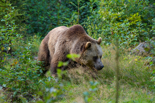 Eurasian Brown Bear「European Brown Bears, Ursus arctos, Bavaria, Germany」:スマホ壁紙(14)