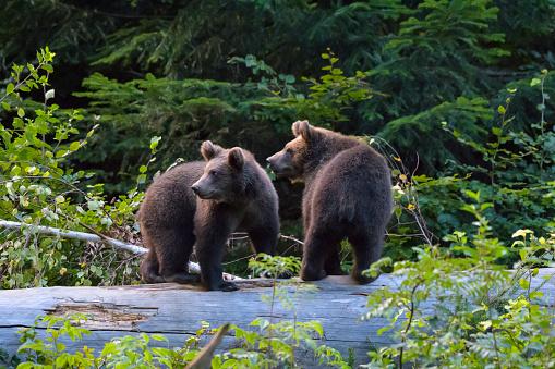 Eurasian Brown Bear「European Brown Bears, Ursus arctos, Cubs on tree trunk, Bavaria, Germany」:スマホ壁紙(8)