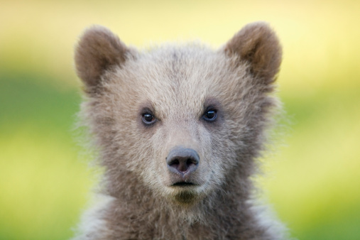 Brown Bear「European Brown bear cub (Ursus arctos), close-up」:スマホ壁紙(13)