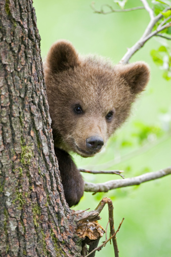 Bear Cub「European Brown bear cub in tree (Ursus arctos), close-up」:スマホ壁紙(19)