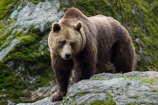Brown Bear「European Brown Bear, Ursus arctos」:スマホ壁紙(11)