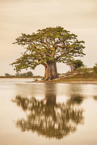 Single Tree「Baobab tree reflection」:スマホ壁紙(12)
