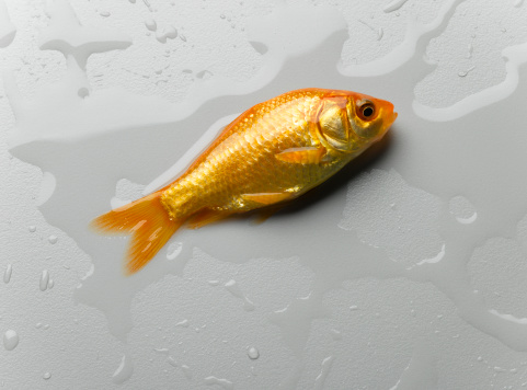 インフルエンザ菌「Goldfish lying on wet surface, overhead view, close-up」:スマホ壁紙(8)