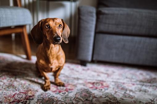 Pets「Beautiful dachshund dog in sunny living room」:スマホ壁紙(18)