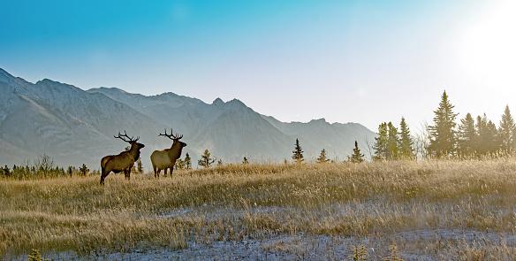 Animal Wildlife「Two bull elk in Banff National Park」:スマホ壁紙(15)
