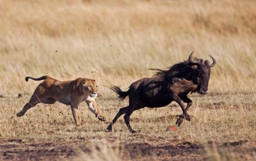 Animals Hunting「Lioness hunting Eastern White-bearded Wildebeest 」:スマホ壁紙(16)