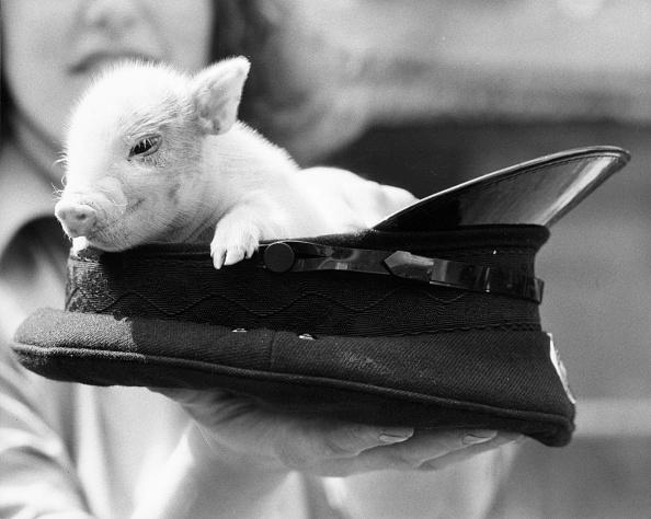 Hiding「Pig In Hat」:写真・画像(17)[壁紙.com]