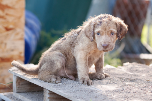 Sadness「Chesapeake Bay Retriever Puppy」:スマホ壁紙(9)