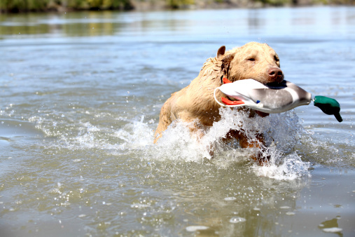 Sports Training「Chesapeake Bay Retriever pup retreiving training Duck」:スマホ壁紙(8)