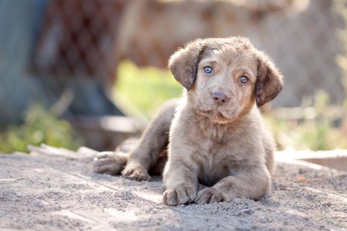 Hunting Dog「Chesapeake Bay Retriever Puppy」:スマホ壁紙(12)