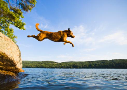 Taking the Plunge「Chesapeake Bay Retriever jumping into lake, side view, summer」:スマホ壁紙(4)
