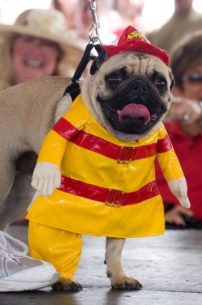 """Phillippe Diederich「Dogs Dress Up At Annual """"Pug Parade""""」:写真・画像(10)[壁紙.com]"""