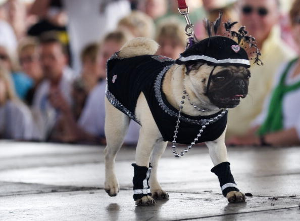 """Phillippe Diederich「Dogs Dress Up At Annual """"Pug Parade""""」:写真・画像(11)[壁紙.com]"""