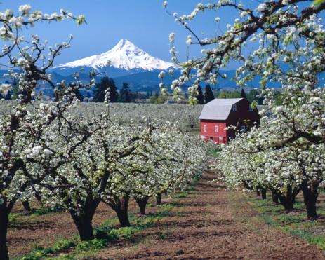 Grove「Mt Hood, Oregon,USA-w/red barn and apple blossoms」:スマホ壁紙(8)