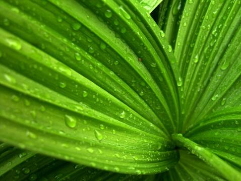Hosta「Wild hosta Plant with Wet Rain」:スマホ壁紙(16)