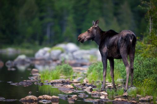 Shallow「Moose peers over rocky shallow lake」:スマホ壁紙(14)