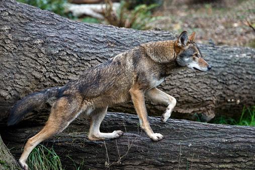 Log「Red Wolf」:スマホ壁紙(10)