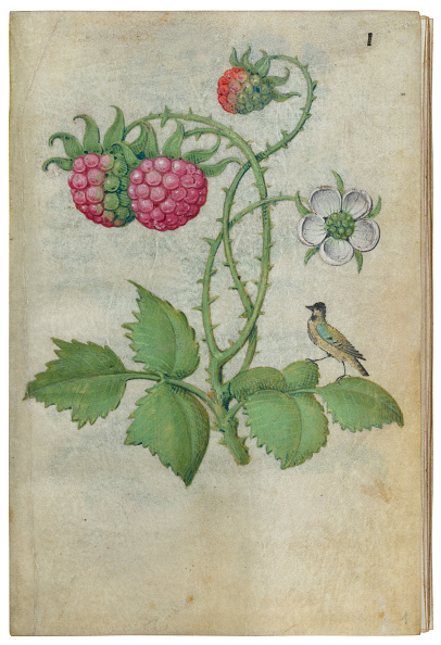 Raspberry「Book Of Flower Studies」:写真・画像(1)[壁紙.com]
