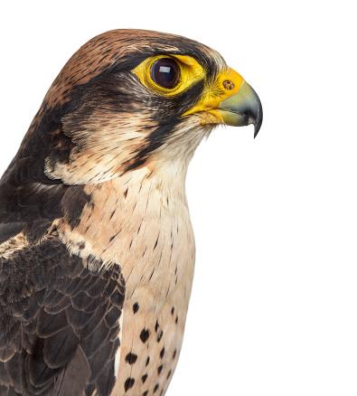 Bird of Prey「Lanner falcon isolated on white」:スマホ壁紙(16)