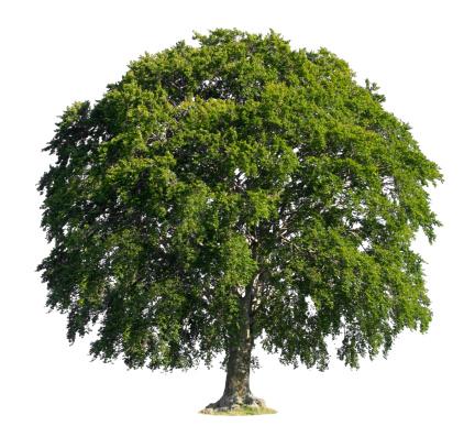 Beech Tree「Tree」:スマホ壁紙(14)