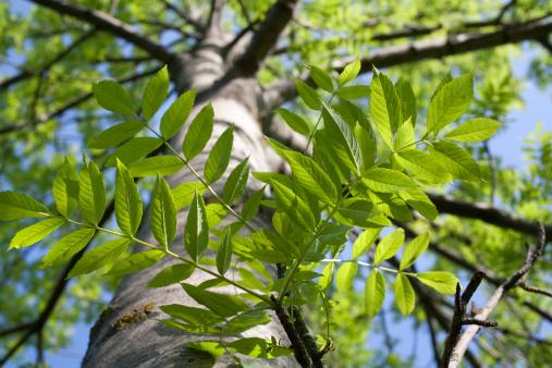 Ash Tree「Tree」:スマホ壁紙(0)