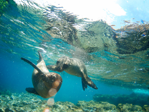 Eco Tourism「Two Galapagos Sea Lions Frolic Together Underwater」:スマホ壁紙(10)