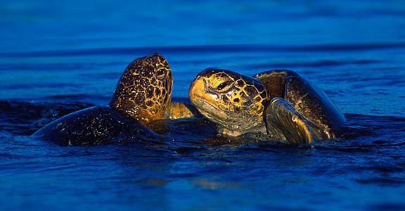 ガラパゴス諸島「Two Galapagos green turtles (Chelonia agassizii) above water」:スマホ壁紙(0)