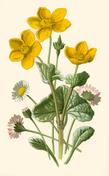 Illustration「Daisy & Marsh-Marigold」:写真・画像(16)[壁紙.com]