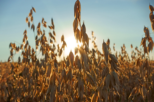 Crop - Plant「Cereal crop in field at sunset」:スマホ壁紙(18)